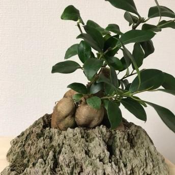 ガジュマル 軽石鉢植え