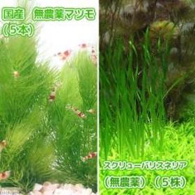 (水草)国産 無農薬マツモ(5本)+スクリューバリスネリア(無農薬)(5株)