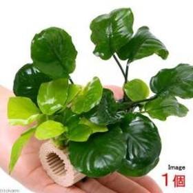 (水草)ラージマルチリング アヌビアス2種付(1個)