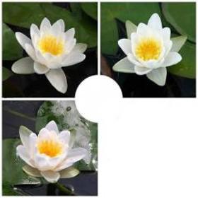 (ビオトープ)睡蓮 おまかせ温帯性品種睡蓮(スイレン) 白系色 1種(1ポット)