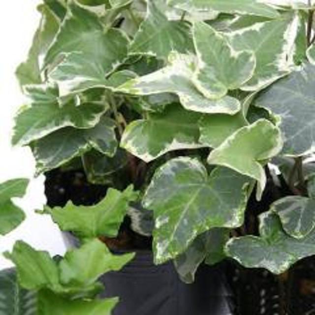 (観葉植物)ヘデラ(アイビー)(品種おまかせ) 3号(1ポット) 北海道冬季発送不可