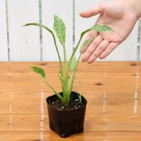 (ビオトープ)水辺植物 サジタリア グラミネア クラッシュアイス (1ポット分) 抽水植物 (休眠株)