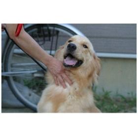【動物のポストカードのAIR】「ゴールデンレトリバー」犬の絵はがきハガキ葉書