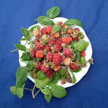 【自宅で楽しむ】「フルーツ栽培キット(レッドラズベリー/キイチゴ インディアンサマー)」