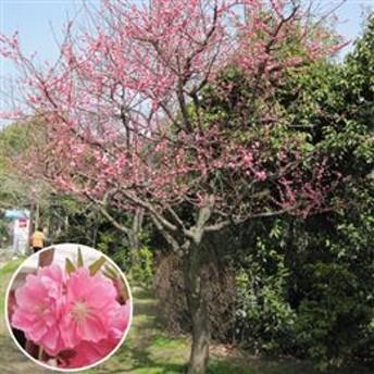 記念樹・シンボルツリー「花桃 矢口/ひな祭りの花」