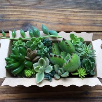 大人気 寄せ植え BOX 詰め合わせ 多肉植物 ガーデニング
