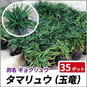 タマリュウ (玉竜) 35ポットセット ポット 苗 常緑 多年草 グランドカバー