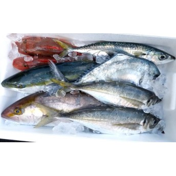 漁師直送 朝獲れ!高級魚入り!船上神経締め 鮮魚ボックス