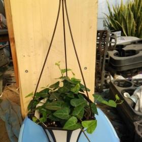 人気の伸び初めハートアイビー観葉植物