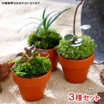 (観葉植物)テラコッタプランツ ミニ おまかせ山野草( 3鉢セット)