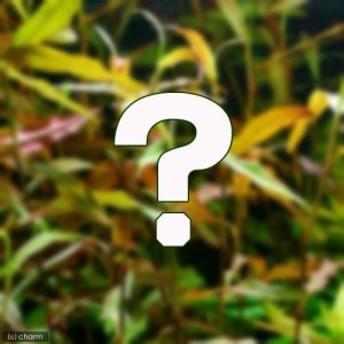 (水草)おまかせポリゴナム(水上葉) 2種×5本セット(無農薬)(計10本) 熱帯魚
