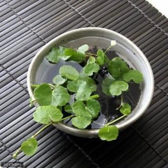 (水草)私の小さなアクアリウム ~ときめき かわいい丸葉のアマゾンチドメグサ(益子焼 脚付中鉢 白)~ 本州四国限定