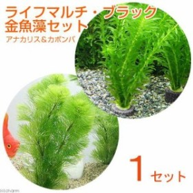 (水草)マルチリングブラック(黒) メダカ・金魚藻セット(1セット)
