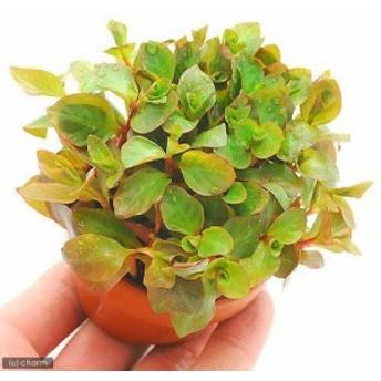(水草)素焼き鉢 ルドウィジア オバリス(ミズユキノシタ)(水上葉)(無農薬)(1鉢)