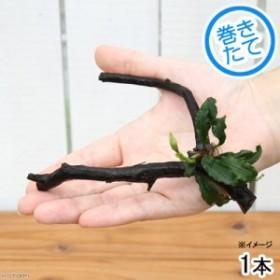 (水草)ブセファランドラsp.グリーンウェービー(インボイス)枝状流木 Sサイズ(約15~20cm)(1本)