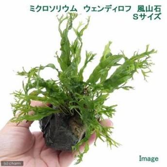 (水草)ミクロソリウム ウェンディロフ 風山石 Sサイズ(1個)