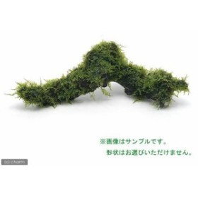 (水草)巻きたて 南米ウィローモス付 流木 Mサイズ(約20cm)(無農薬)(1本)
