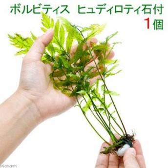 (水草)ボルビティス ヒュディロティ石付(無農薬)(1個)