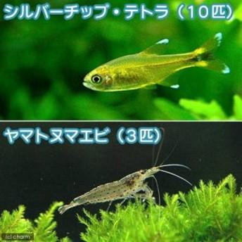 (熱帯魚)シルバーチップ・テトラ(10匹) + ヤマトヌマエビ(3匹) 北海道航空便要保温