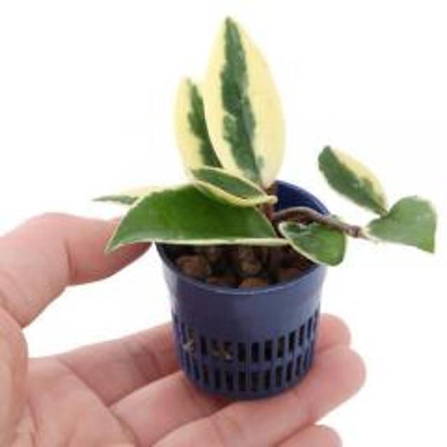 (観葉植物)おまかせハイドロ苗4.5φ・Sサイズ(1ポット) 北海道冬季発送不可