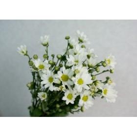 コギク シロ(季節の白小菊)5本 切花 生け花 花材