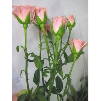 SPミニバラ ピンク(リディアなど)5本 切花 生け花 花材 ハーバリウム花材ドライフラワーに最適