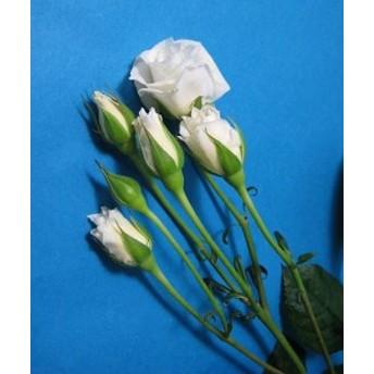SPミニバラ シロ(SPプリンセスなど)5本 切花 生け花 花材 ドライフラワーに最適