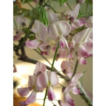 ホンベニフジ(本紅藤) 中苗 藤 苗の高さは 約50センチです。