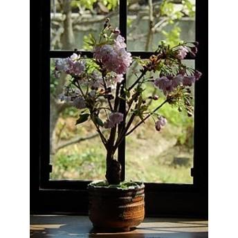 母の日限定桜盆栽 八重咲きの中では とてもきれいな 淡いピンクの 楊貴妃桜 当店のお勧めさくら盆栽です