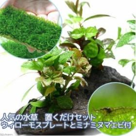 (エビ)(水草)人気の水草 置くだけセット ウィローモスプレートとミナミヌマエビ付