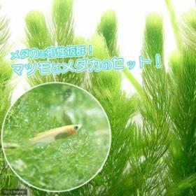 (めだか)(水草)ヒメダカ初心者セット ヒメダカ(6匹)+マツモ(無農薬)(5本)