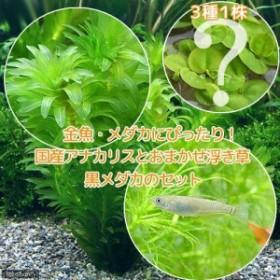 (めだか)(水草)メダカ・金魚藻 国産 アナカリス(無農薬)(5本) +おまかせ浮き草3種+クロメダカ(6匹)