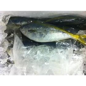 タカべ 新島産 1kg(約2-5尾) たかべ