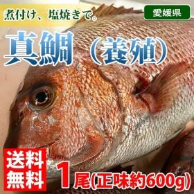 【送料無料】愛媛県産 養殖マダイ(真鯛)1尾約1.2〜1.8kg(正味600g〜700g)