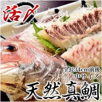 来島海峡の天然活〆真鯛 中(全長34cm前後) ※冷蔵 sea ○
