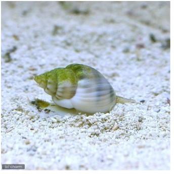 (海水魚)貝 イボヨウバイ 底砂とその他の掃除(1匹)