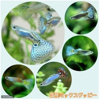 (熱帯魚)国産ミックスグッピー(3ペア) 北海道航空便要保温