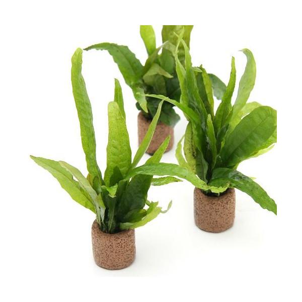 (5個) ライフマルチ (茶) アヌビアスナナ (水草)