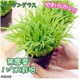 (観葉植物)スーダングラス ワンちゃんの草 直径8cmECOポット植え(無農薬)(1ポット) 犬のおやつ