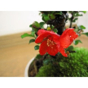 盆栽: 【母の日ギフト】【父の日】 【長寿梅】【ミニ盆栽】