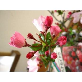 盆栽:桜  桜盆栽 花海棠