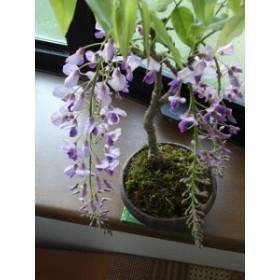 盆栽: 藤盆栽藤   開花は四月  信楽鉢入り 3980円