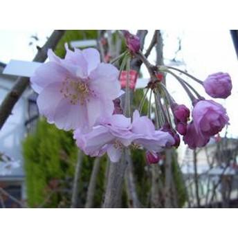 桜の苗 【仙台しだれ桜】