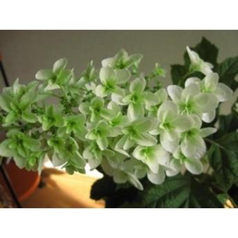 山アジサイ 【紫陽花の鉢植】八重柏葉アジサイ