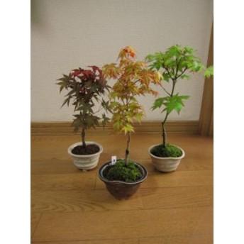 盆栽:【もみじ】【 もみじ三点セット】 【母の日ギフト】