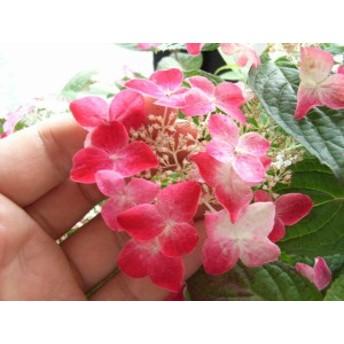 山アジサイ 紅甘茶【母の日ギフト】 【紫陽花】
