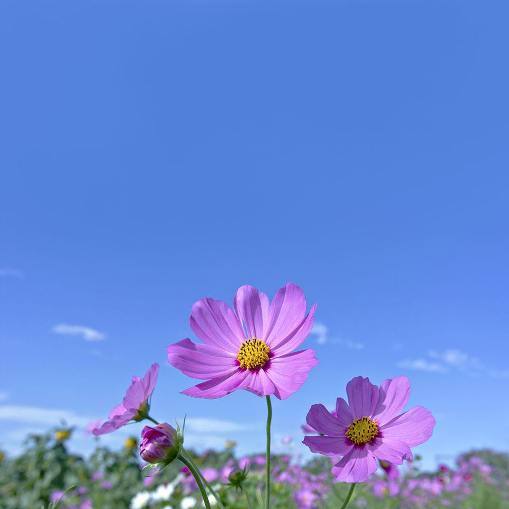 コスモスと青空の写真