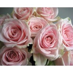 バラピンク (スイートアバランチェなど)5本 切花 生け花 花材 ドライフラワーに最適