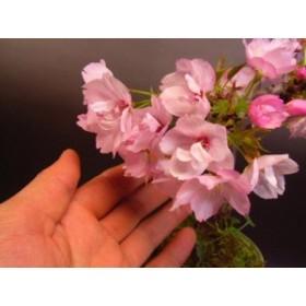 旭山 二本桜 【送料無料】  桜盆栽 サクラ