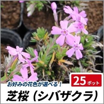 芝桜 (シバザクラ) 25ポットセット 苗 多年草 グランドカバー 寄せ植え 下草